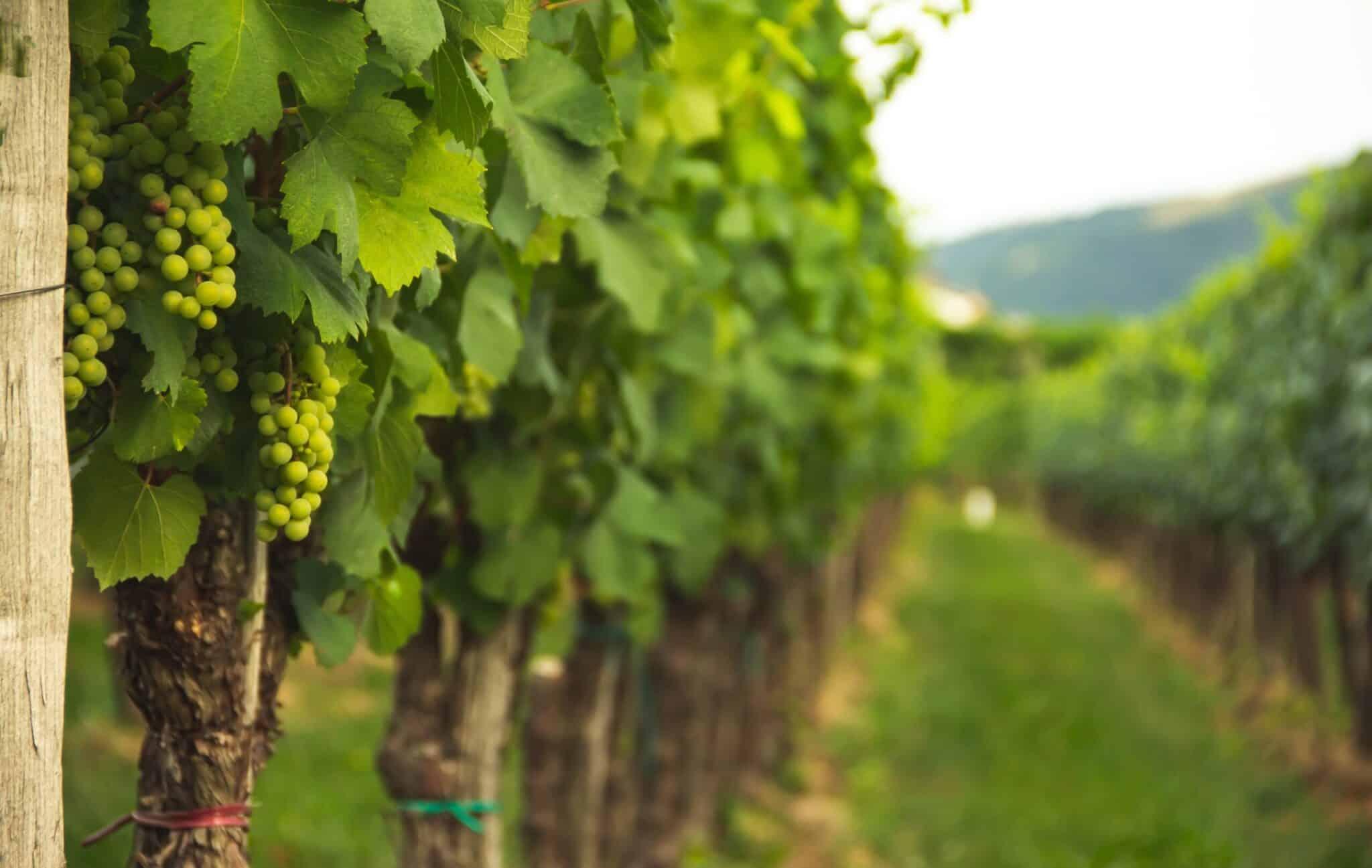 vinmark med grønne druer
